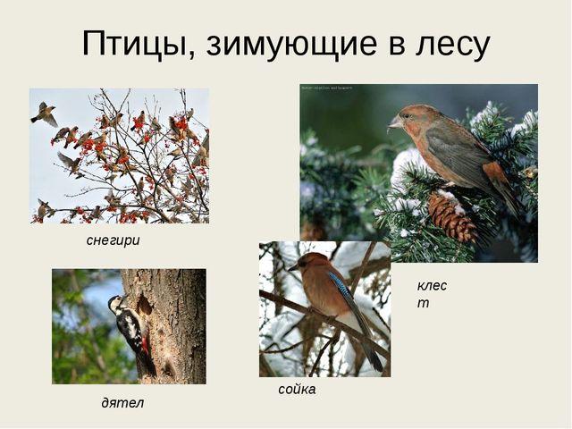 Птицы, зимующие в лесу снегири клест сойка дятел дятел