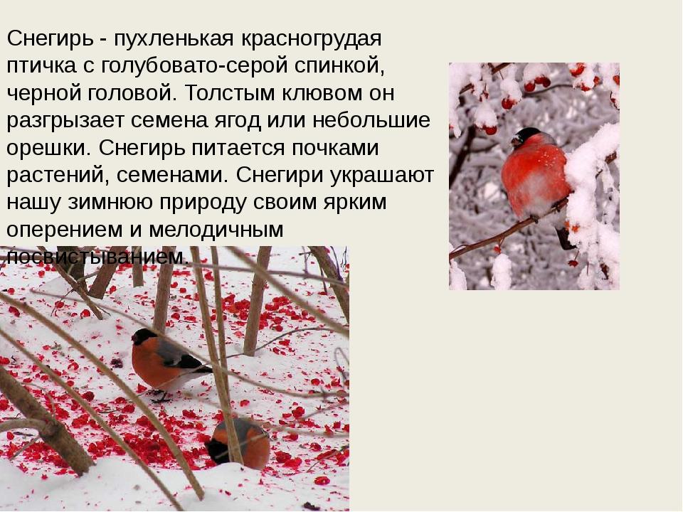Снегирь - пухленькая красногрудая птичка с голубовато-серой спинкой, черной г...