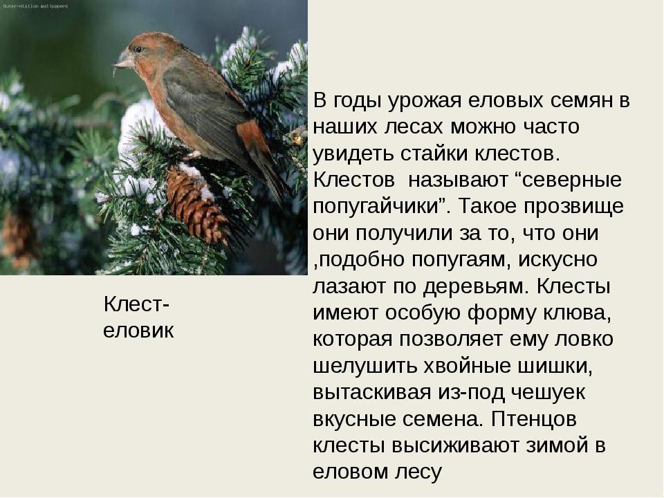 Клест- еловик В годы урожая еловых семян в наших лесах можно часто увидеть ст...
