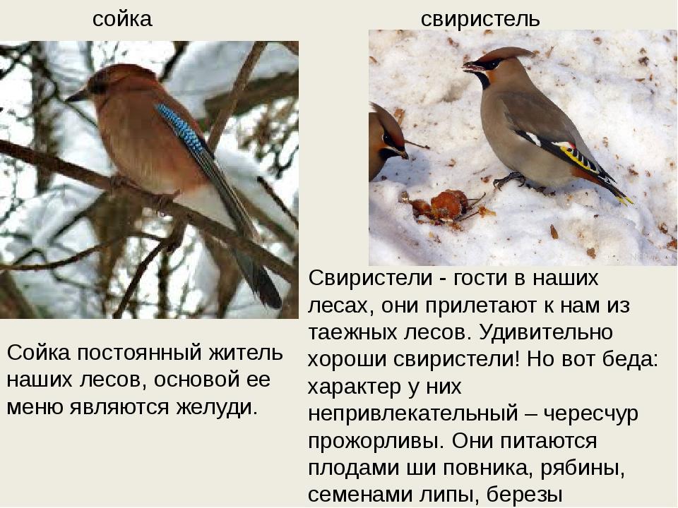 сойка свиристель Свиристели - гости в наших лесах, они прилетают к нам из тае...