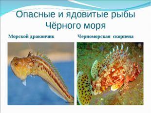Опасные и ядовитые рыбы Чёрного моря Морской дракончик Черноморская скорпена