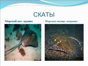 СКАТЫ Морской кот -ядовит Морская лисица- неядовит