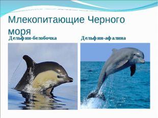 Млекопитающие Черного моря Дельфин-белобочка Дельфин-афалина