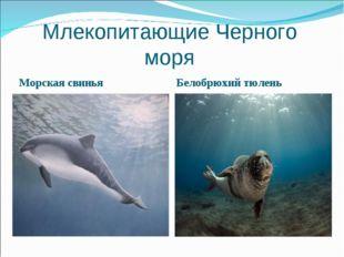 Млекопитающие Черного моря Морская свинья Белобрюхий тюлень