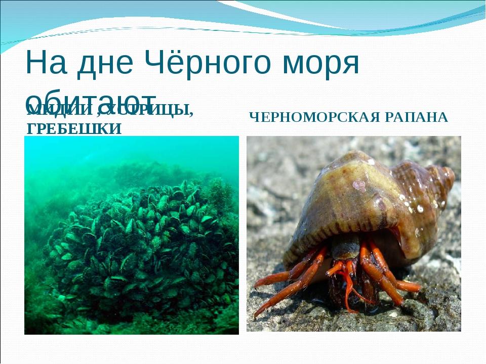 На дне Чёрного моря обитают МИДИИ , УСТРИЦЫ, ГРЕБЕШКИ ЧЕРНОМОРСКАЯ РАПАНА