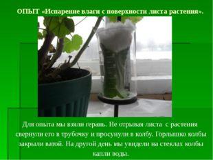 Для опыта мы взяли герань. Не отрывая листа с растения свернули его в трубочк