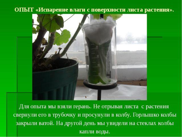 Для опыта мы взяли герань. Не отрывая листа с растения свернули его в трубочк...