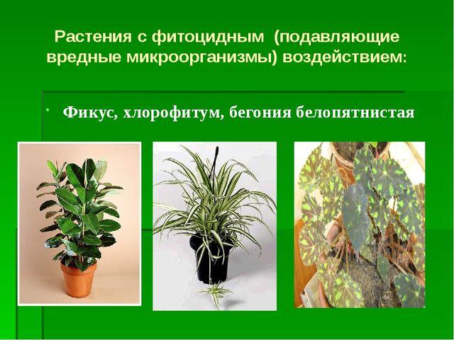 Фикус, хлорофитум, бегония белопятнистая Растения с фитоцидным (подавляющие в...