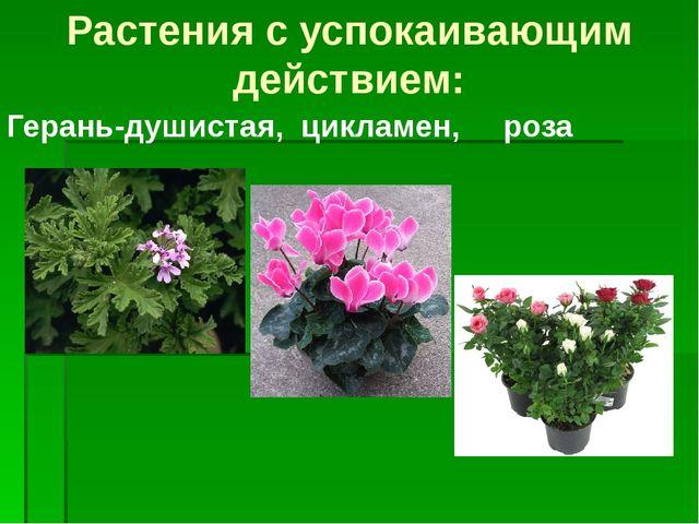 Герань-душистая, цикламен, роза Растения с успокаивающим действием: