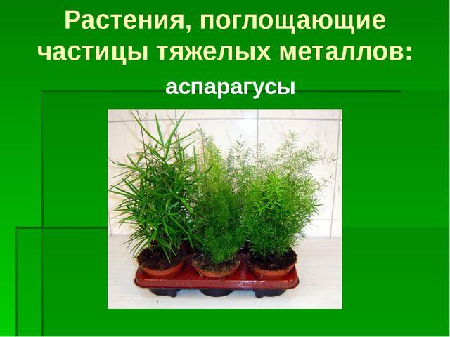 аспарагусы Растения, поглощающие частицы тяжелых металлов: