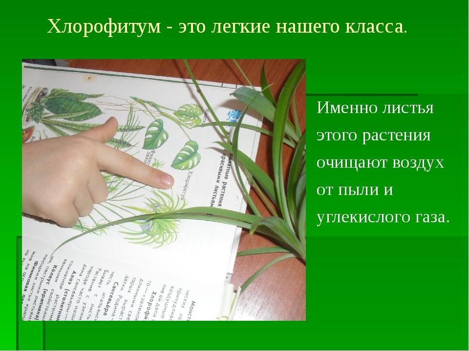 Хлорофитум - это легкие нашего класса. Именно листья этого растения очищают в...