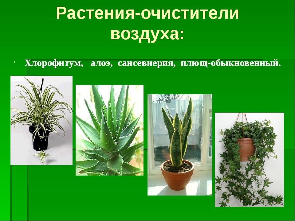 Хлорофитум, алоэ, сансевиерия, плющ-обыкновенный. Растения-очистители воздуха: