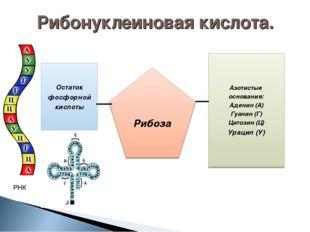 Азотистые основания: Аденин (А) Гуанин (Г) Цитозин (Ц) Урацил (У) Рибоза Оста