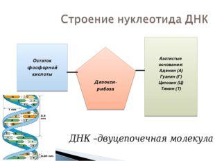 Азотистые основания: Аденин (А) Гуанин (Г) Цитозин (Ц) Тимин (Т) Дезокси- риб