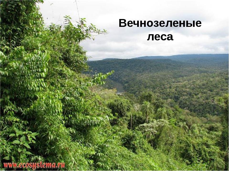 Вечнозеленые леса