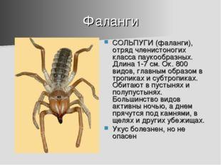 Фаланги СОЛЬПУГИ (фаланги), отряд членистоногих класса паукообразных. Длина 1
