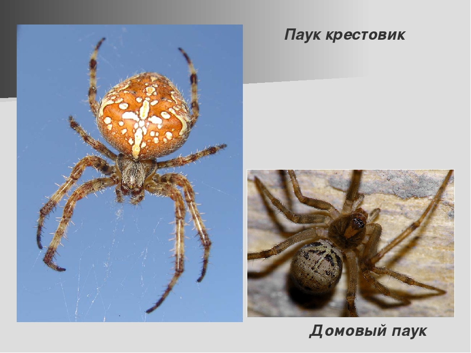 Паук крестовик Домовый паук