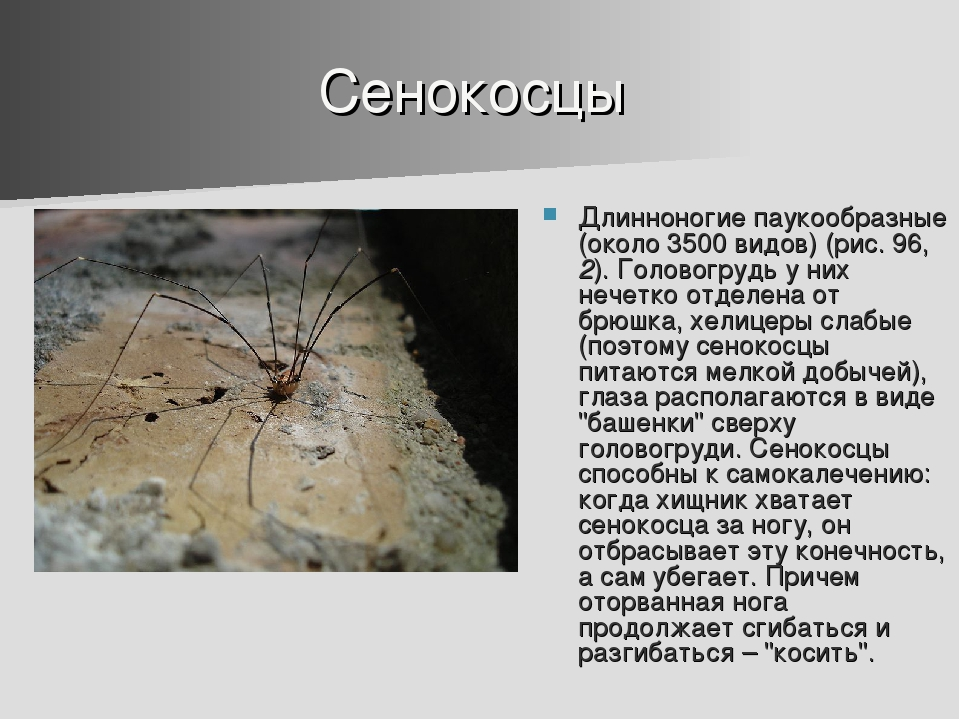 Сенокосцы Длинноногие паукообразные (около 3500 видов) (рис. 96, 2). Головогр...