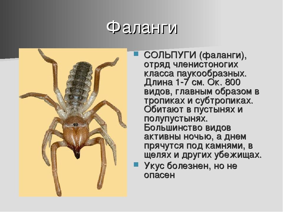 Фаланги СОЛЬПУГИ (фаланги), отряд членистоногих класса паукообразных. Длина 1...