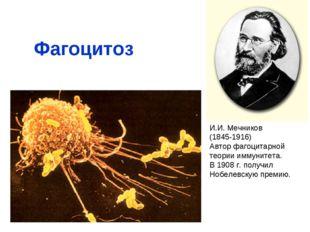 Фагоцитоз И.И. Мечников (1845-1916) Автор фагоцитарной теории иммунитета. В 1