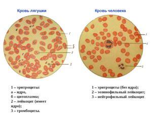 1 – эритроциты: а – ядро, б – цитоплазма; 2 – лейкоцит (имеет ядро); 3 – тром