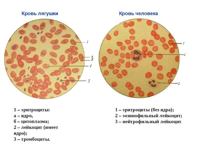 1 – эритроциты: а – ядро, б – цитоплазма; 2 – лейкоцит (имеет ядро); 3 – тром...