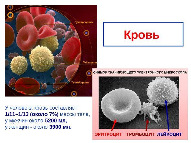 Кровь У человека кровь составляет 1/11–1/13 (около 7%) массы тела, у мужчин о...