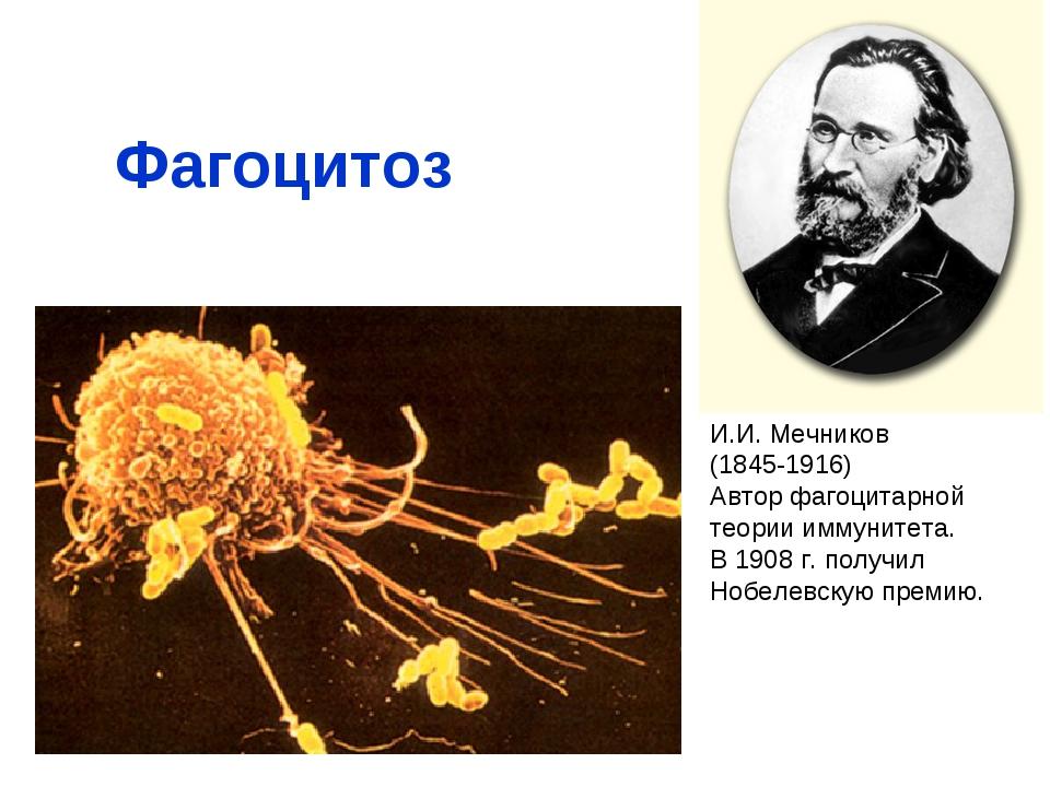Фагоцитоз И.И. Мечников (1845-1916) Автор фагоцитарной теории иммунитета. В 1...