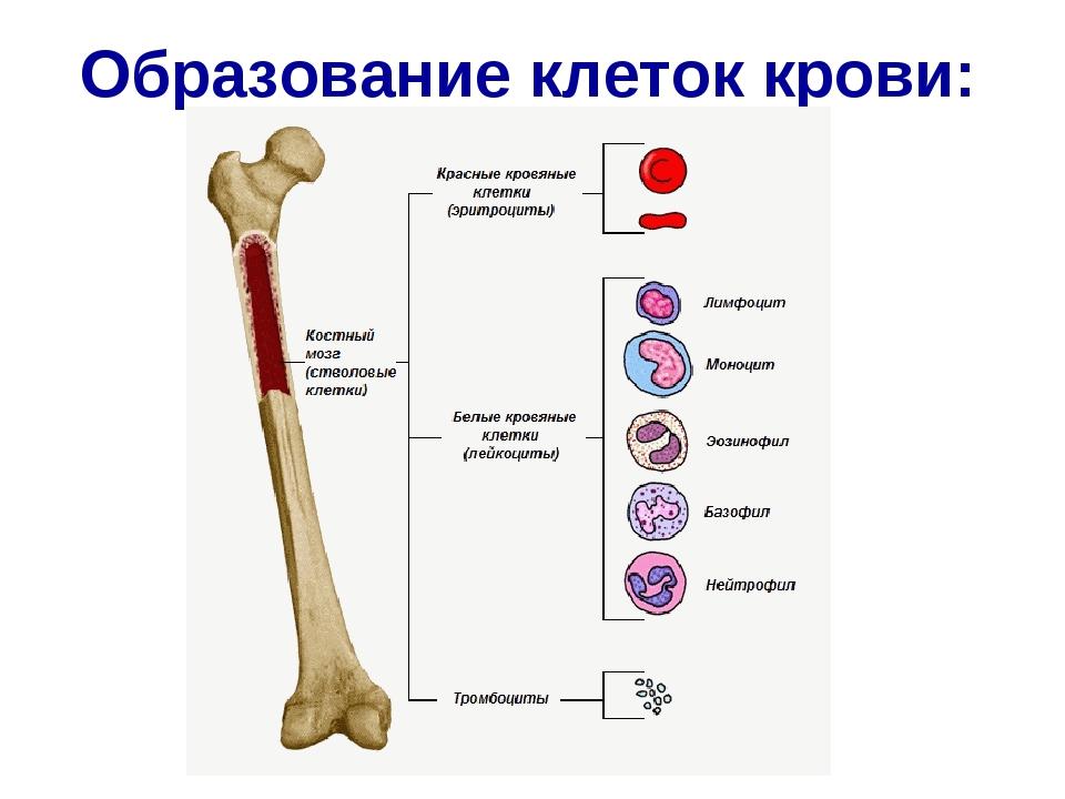 Образование клеток крови:
