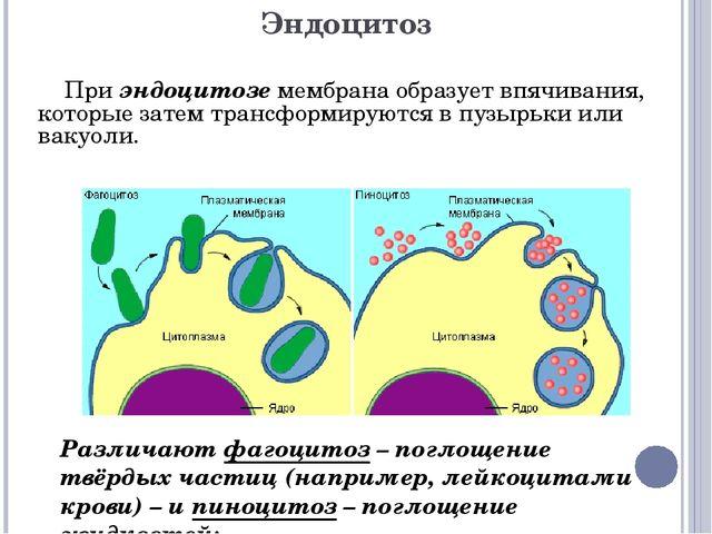 Эндоцитоз При эндоцитозе мембрана образует впячивания, которые затем трансфор...