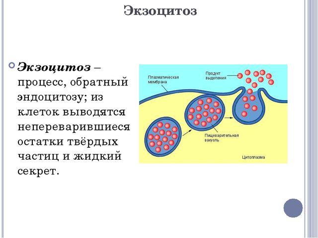Экзоцитоз Экзоцитоз – процесс, обратный эндоцитозу; из клеток выводятся непер...