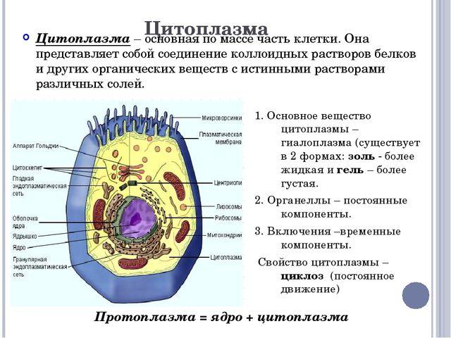 Цитоплазма Цитоплазма – основная по массе часть клетки. Она представляет собо...