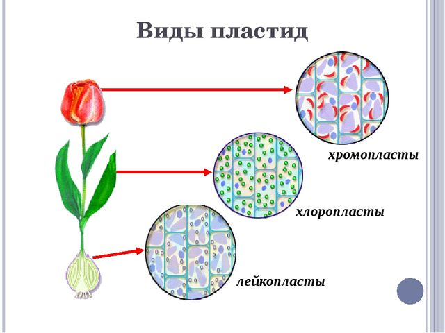 Немембранные органоиды: рибосомы клеточный центр цитоскелет