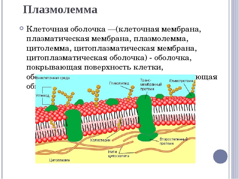 Плазмолемма Клеточная оболочка —(клеточная мембрана, плазматическая мембрана,...