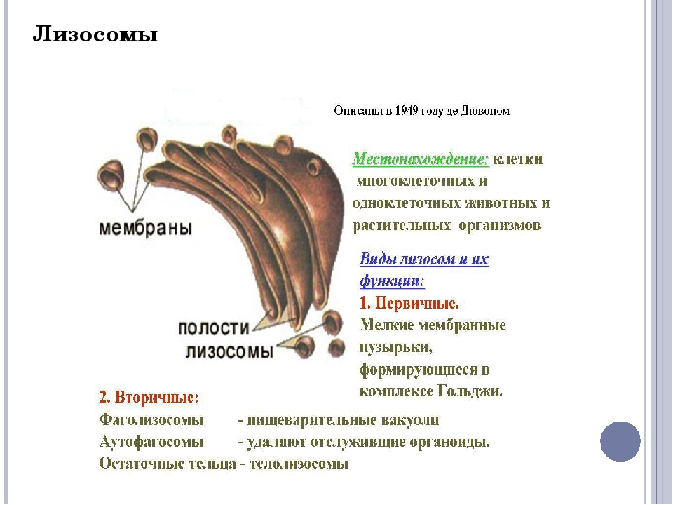 Вакуоли. Лизосома. Функции центральной вакуоли: Накопление питательных вещест...