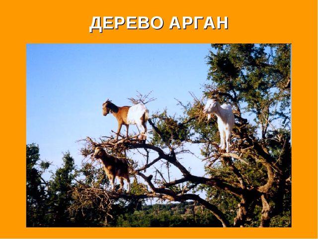 ДЕРЕВО АРГАН