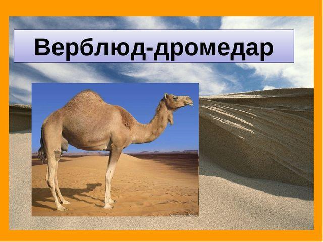 Верблюд-дромедар