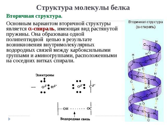 Структура молекулы белка Вторичная структура. Основным вариантом вторичной ст...