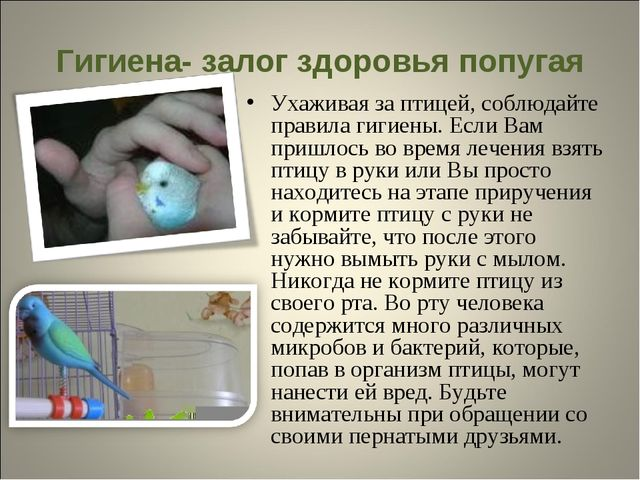 Гигиена- залог здоровья попугая Ухаживая за птицей, соблюдайте правила гигиен...