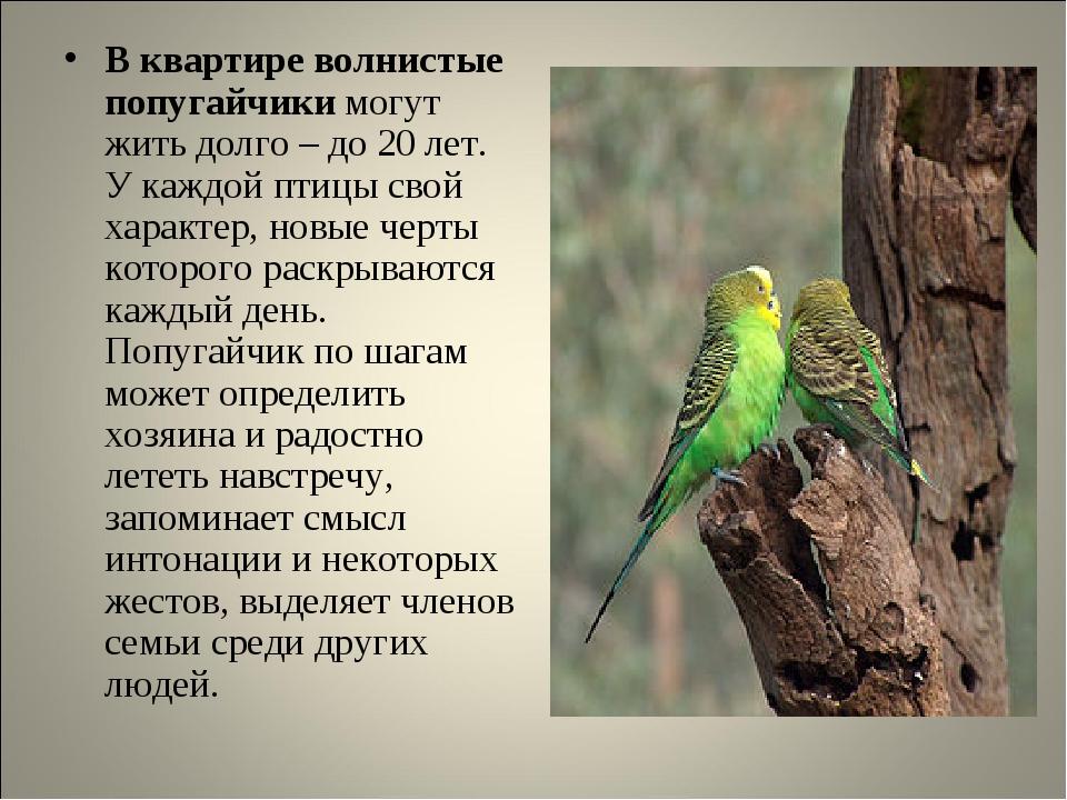 В квартире волнистые попугайчики могут жить долго – до 20 лет. У каждой птицы...