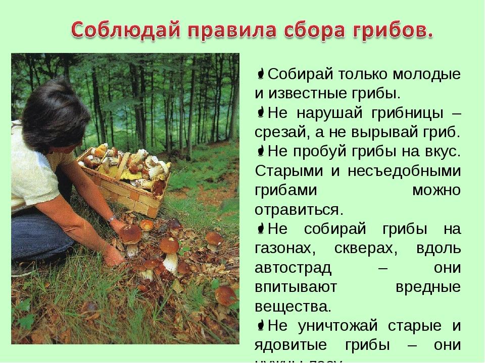 Собирай только молодые и известные грибы. Не нарушай грибницы – срезай, а не...