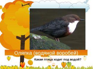 Оляпка (водяной воробей) Какая птица ходит под водой?