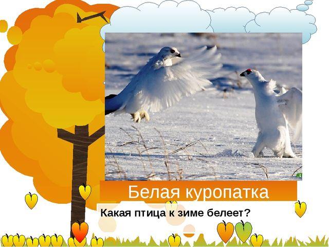 Белая куропатка Какая птица к зиме белеет?