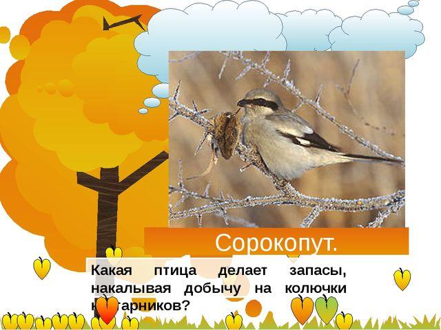 Сорокопут. Какая птица делает запасы, накалывая добычу на колючки кустарников?