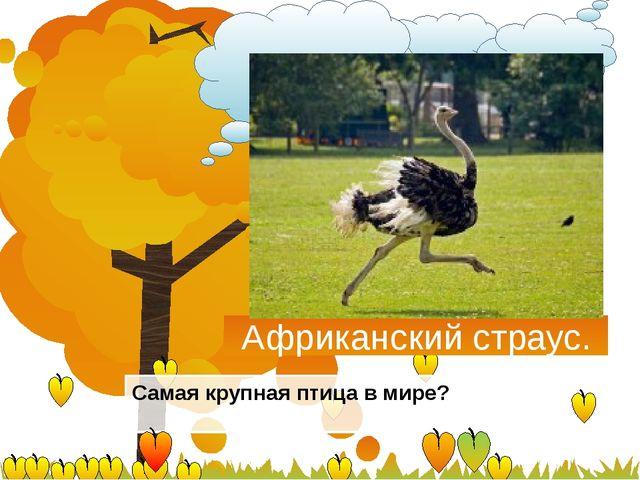 Африканский страус. Самая крупная птица в мире?