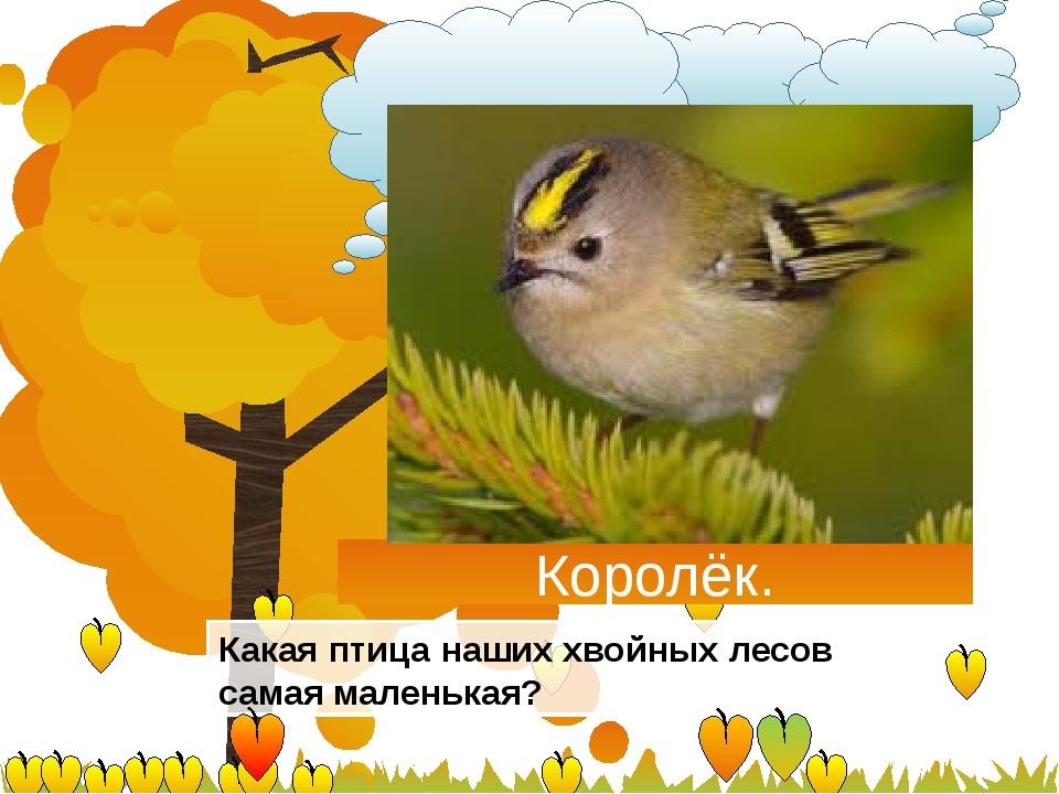 Королёк. Какая птица наших хвойных лесов самая маленькая?