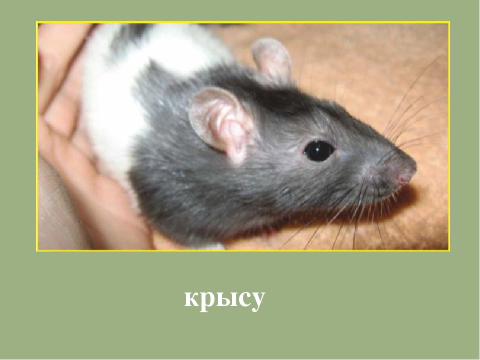 крысу