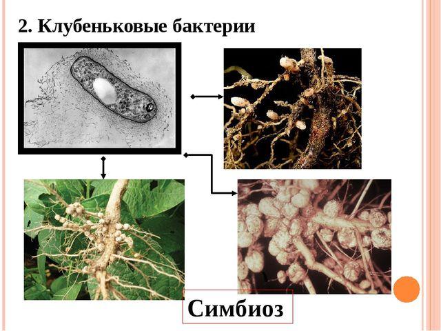 2. Клубеньковые бактерии Симбиоз