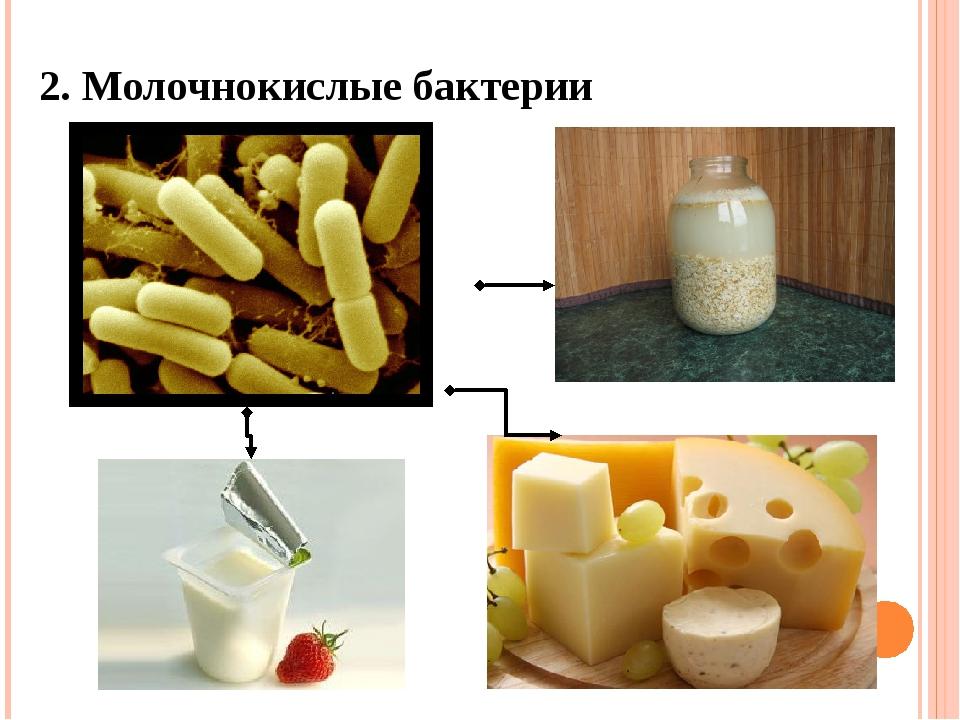 2. Молочнокислые бактерии