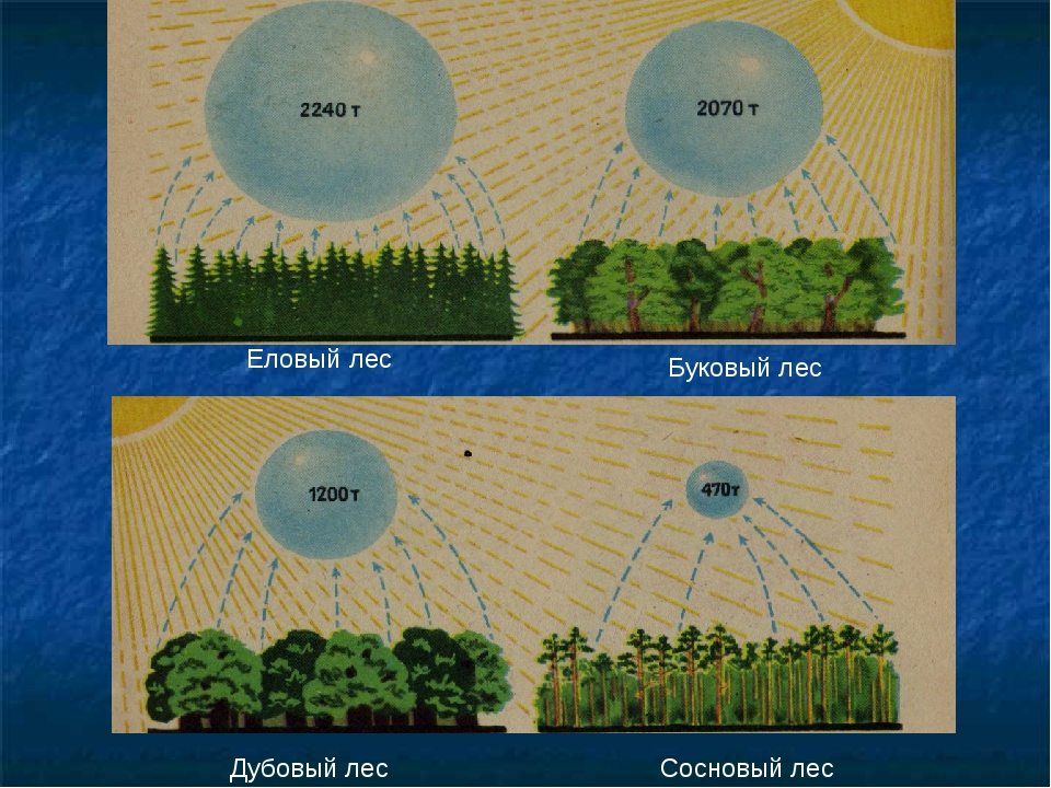 Еловый лес Дубовый лес Сосновый лес Буковый лес